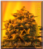 Emerald Triangle Critical Sour Diesel Fem 5 Seeds